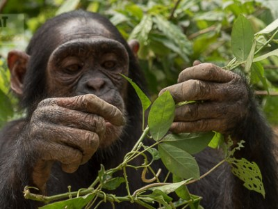 chimpanzees Cameroon