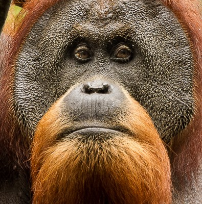 Sumatran orangutan orang-utan Sumatra