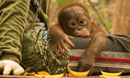 orphan orangutans Yayasan IAR 1260499