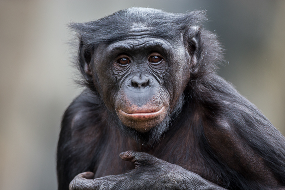 bonobo great ape