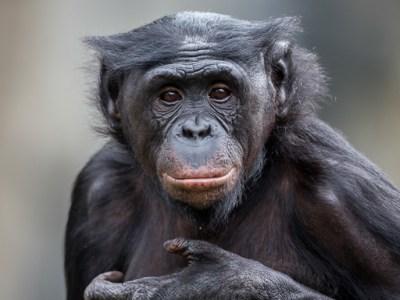 bonobo great ape