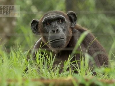 chimpanzee orphan cameroon