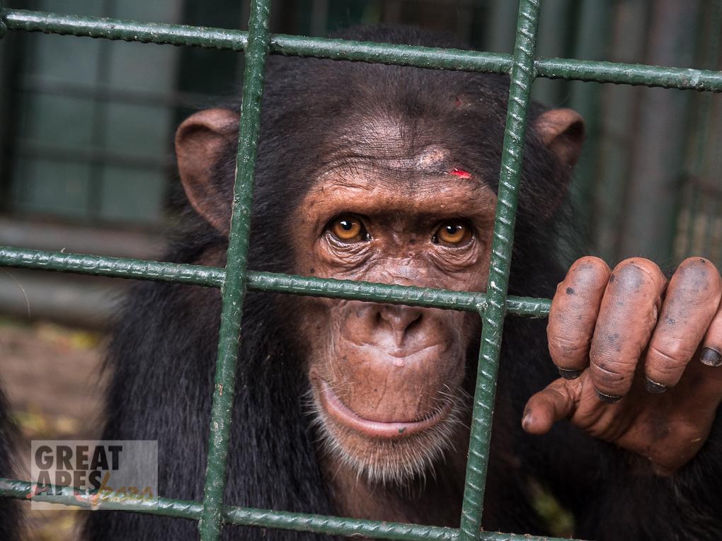 chimpanzee poaching orphan