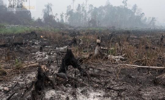 deforestation fire palm oil -1250060