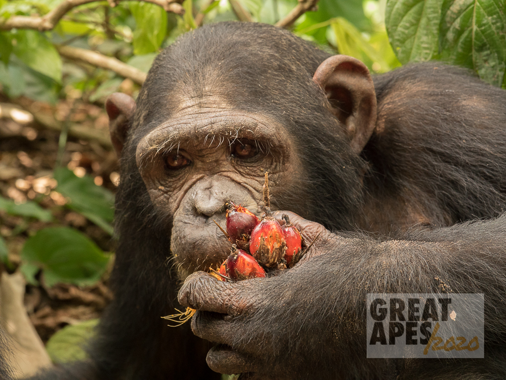 chimpanzee palm oil great apes