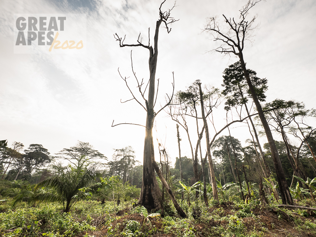 slash and burn deforestation great apes