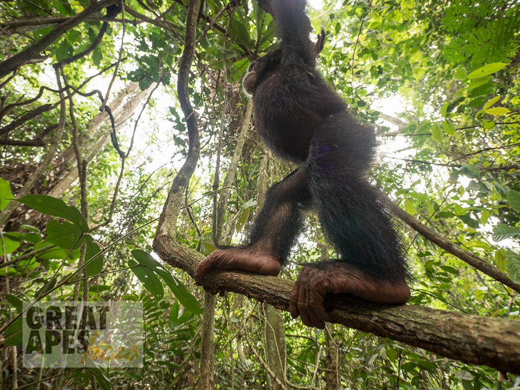 chimpanzee climbing Ape Action Africa Great Apes 2020
