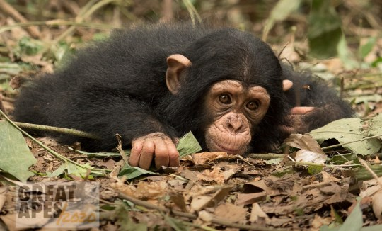 chimpanzee baby Ape Action Africa Great Apes 2020