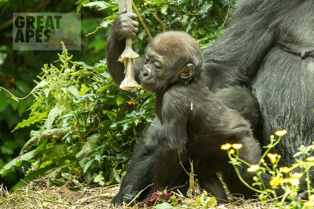 baby Yola lowland gorilla WPZ