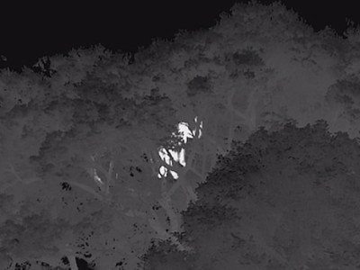 BBC thermal image of gorilla