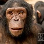 chimpanzee at Mefou great apes