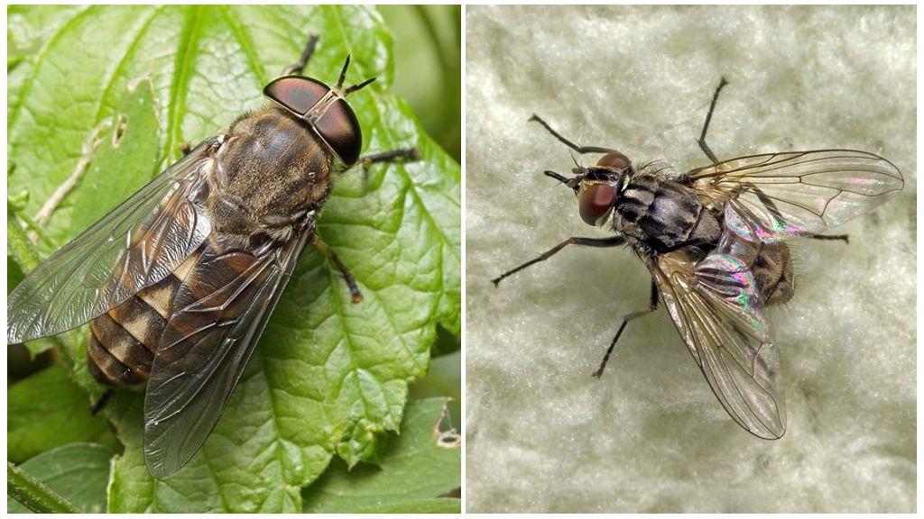 Почему мухи кусаются в июле. Кусаются ли мухи, – какие, когда и почему. Видео: Мухи невероятный вред