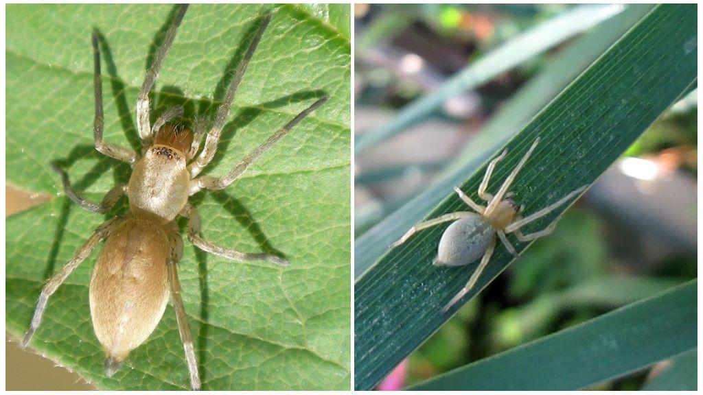 Ядовитые пауки украины фото и названия