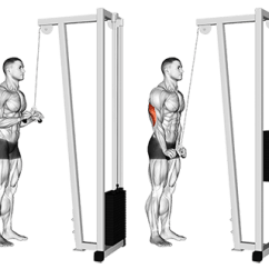 Chin Muscles Diagram 2005 Scion Xb Radio Wiring Standing Cable Triceps Extension | Apex Contest Prep - Online Personal Training