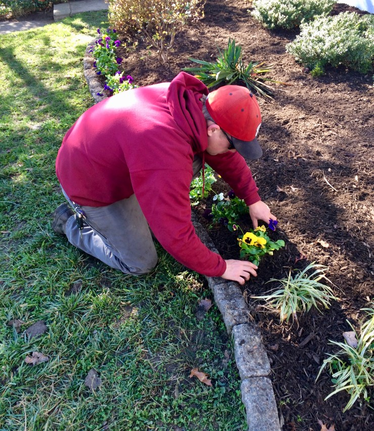 Crewmen Installing a row of colorful pansies in planting bed