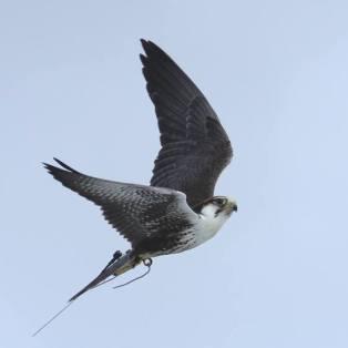 Falcão Laggar em voo