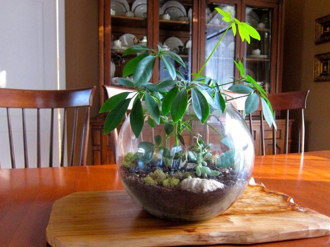 Terrarium with Umbrella plant and succulents.