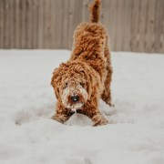 A Little Happier: A Dog's Pleasure Can Remind Us All of the Joy of the Snow.