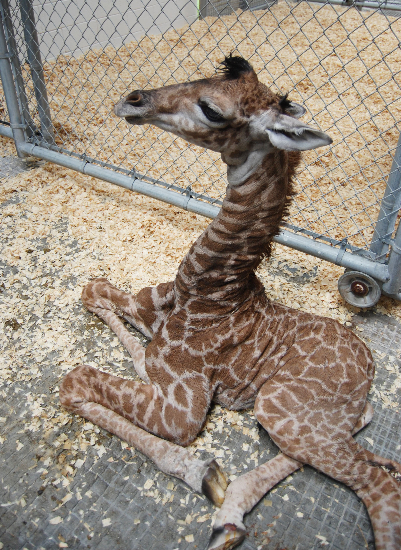 How Tall Is A Newborn Giraffe : newborn, giraffe, Virginia, Zoo's, Giraffe
