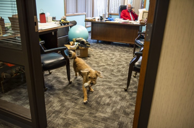 The dog from Bay County Animal Services roaming the office at Bangor Township Hall. Photo: TNS