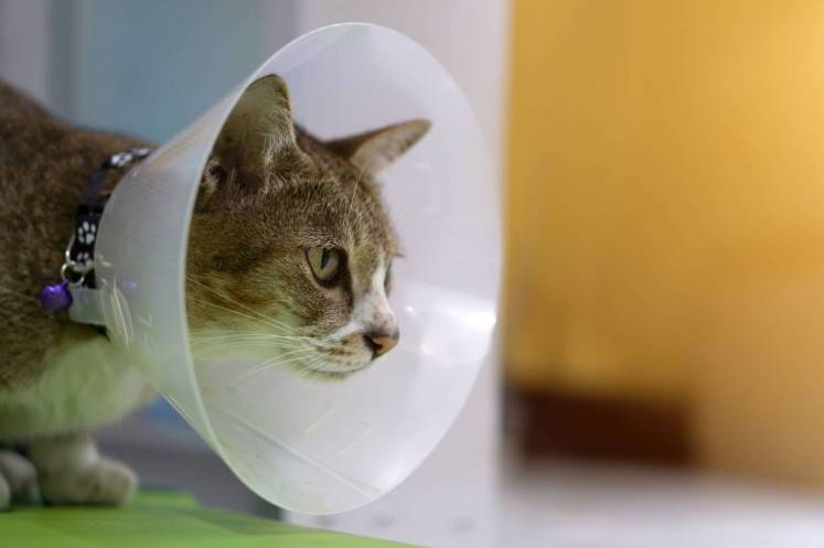 Have a lampshade ready in case your cat needs it after surgery. — 123rf.com