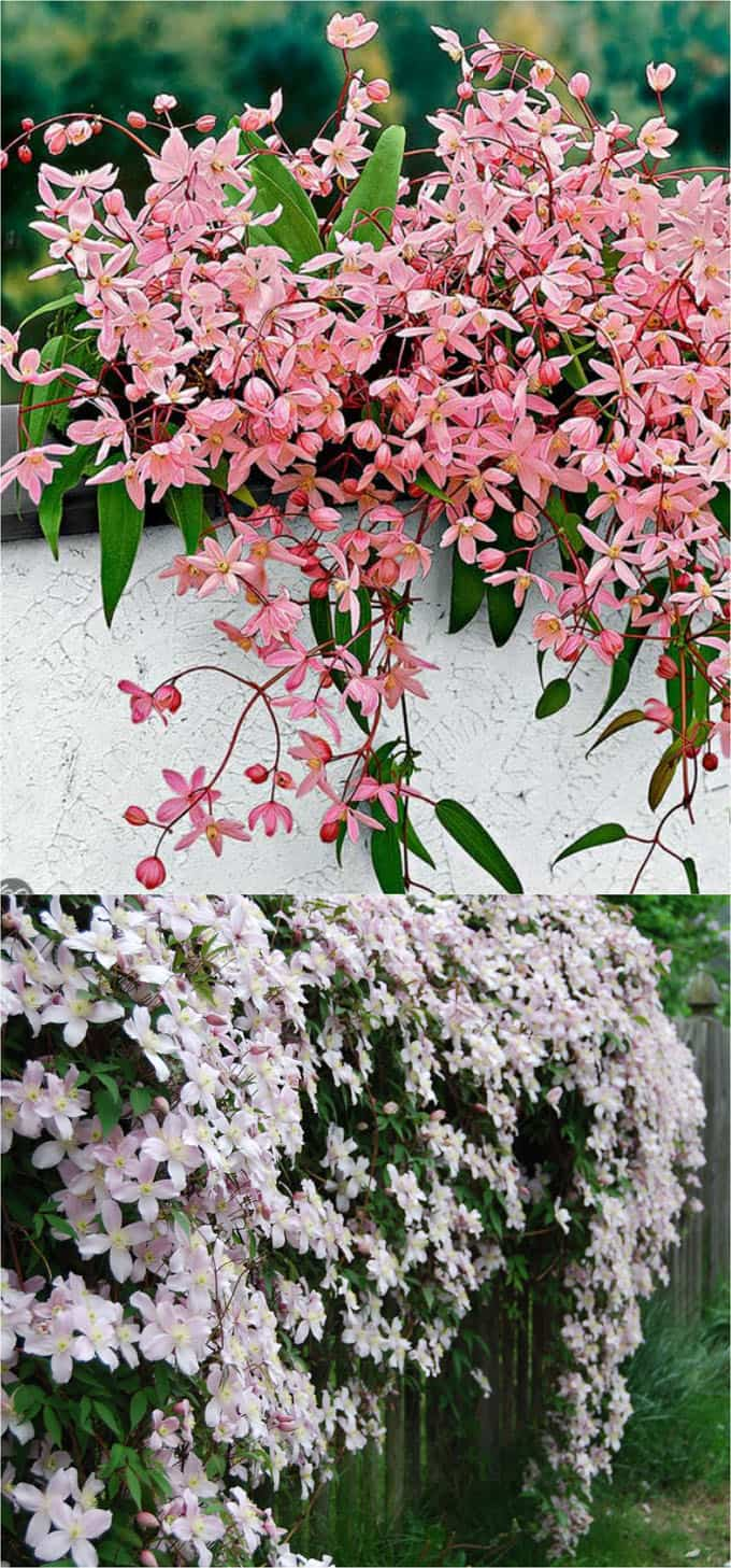 20+ Favorite Flowering Vines And Climbing Plants  Page 2