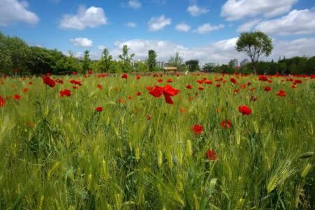 Amongst the green barley