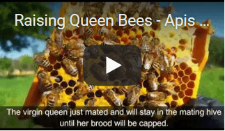 video raising queen Apis Donau