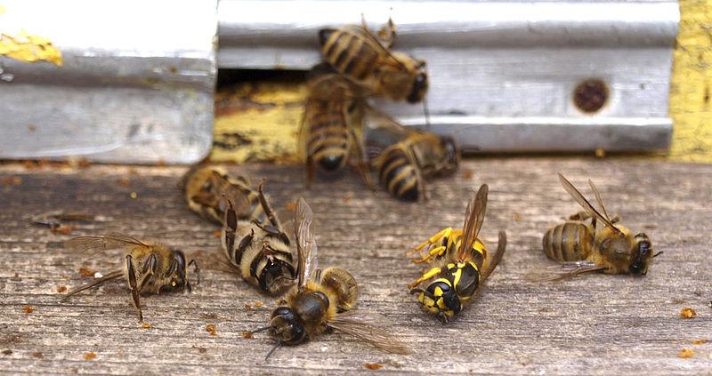 abeilles mortes Monsanto