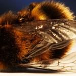 Un parasite qui rend les abeilles zombies présent au Canada