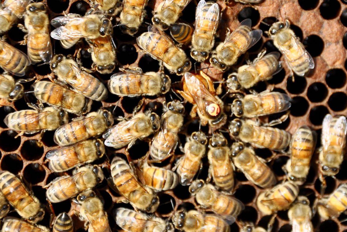 inseminated queen bee