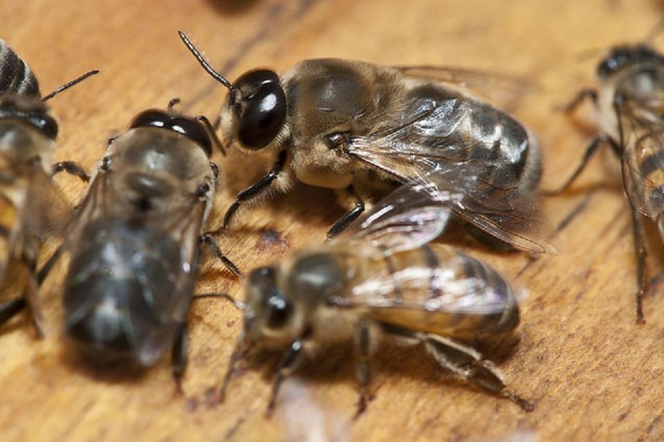 biologia abejas