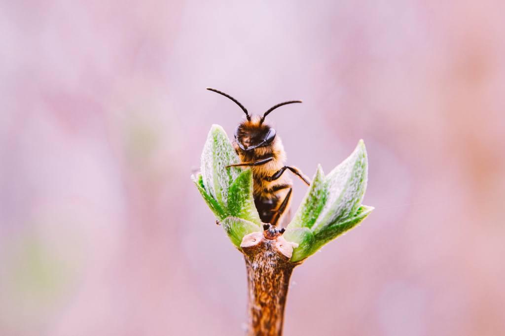 cannabis polen néctar abejas