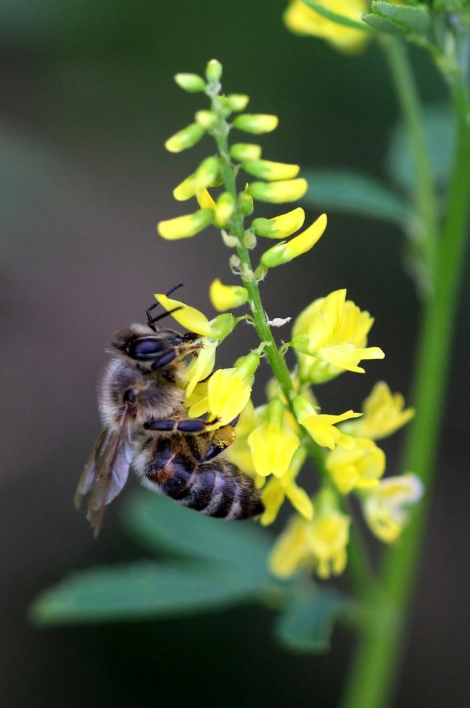 Bee on yellow melilotus