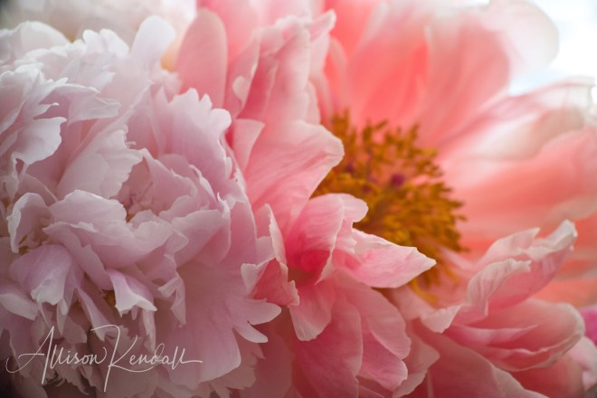 Pink peony macro (2)
