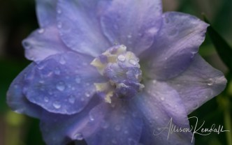 Detail of pale purple blue delphinium or larkspur flowers after a summer rain storm