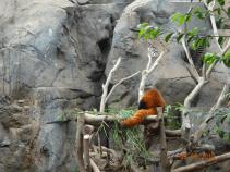 Red Panda's Butt