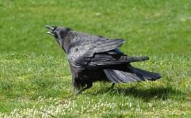 2016 03 16 Vancouver Grand park crow s1