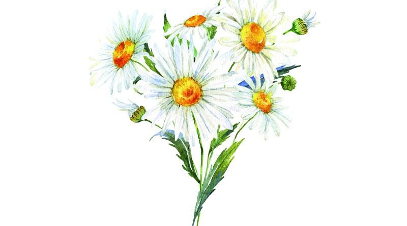 Heilpflanze zur Appetitanregung - Gänseblümchen