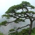 曲がった松の木
