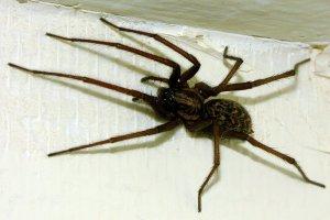 Απολυμανσεις Καλλιθεα - αράχνη