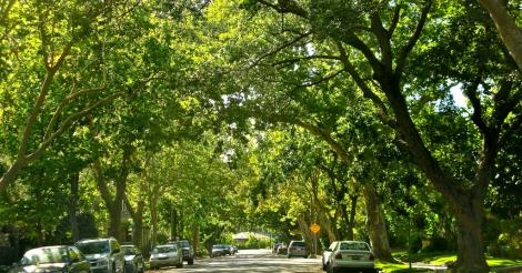 Stadsbomen kunnen bijna evenveel CO2 opslaan als een tropisch woud