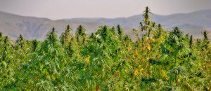 Video: How Hemp Threatens the Corporatocracy – Global Research