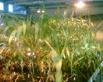 The Seeds Of Suicide: How Monsanto Destroys Farming – Global Research