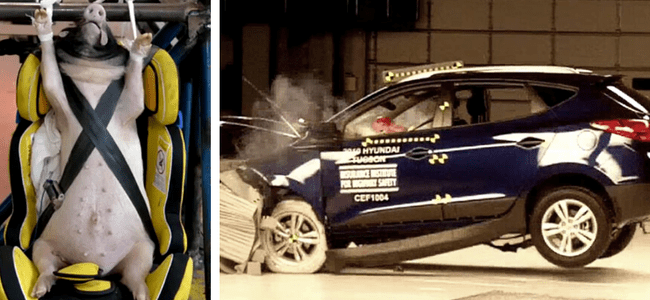 scientists-in-china-are-using-live-pigs-as-crash-test-dummies