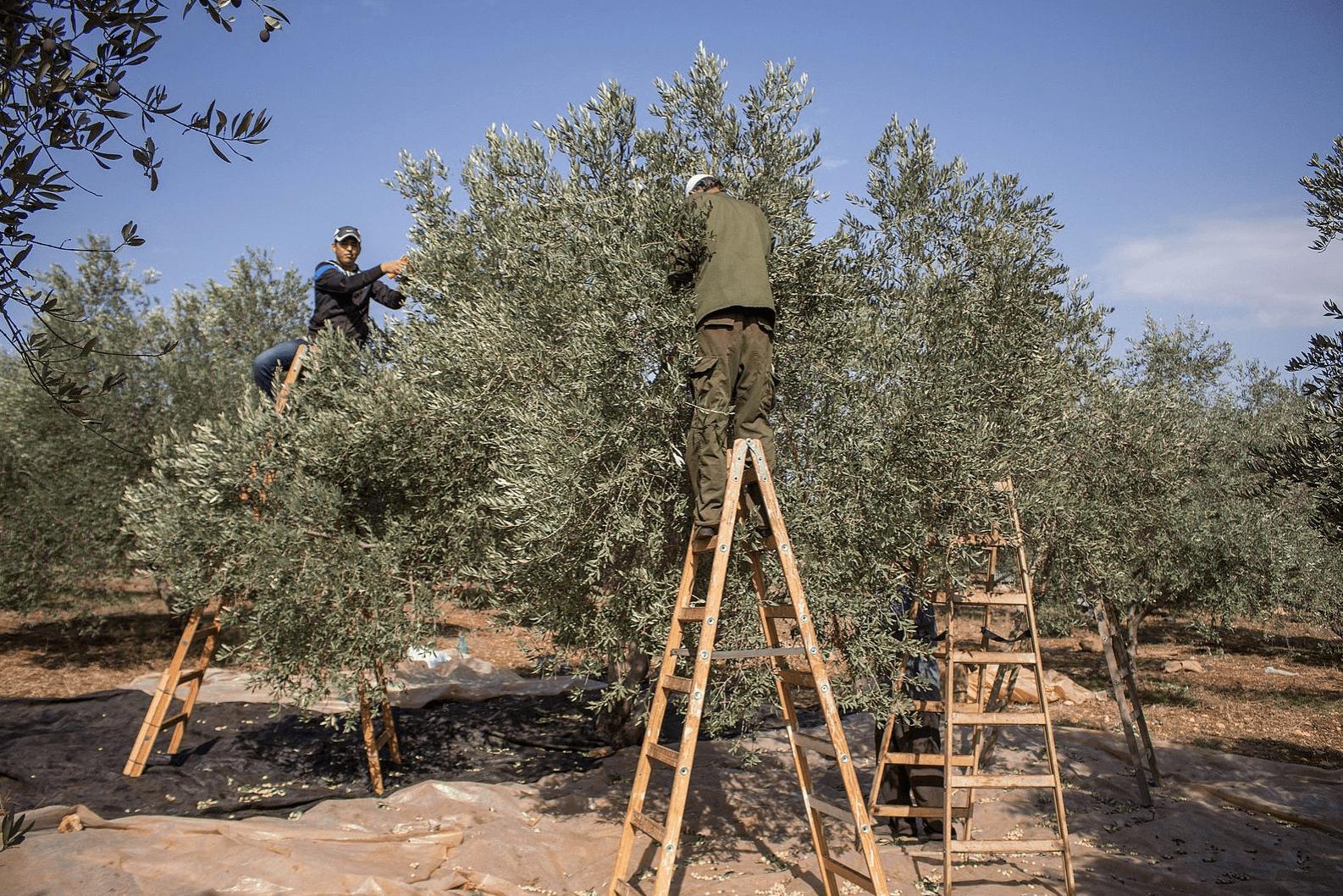 israelisch-verbod-op-de-export-van-landbouwproducten-verlammen-palestijnse-boeren-–-dewereldmorgen.be