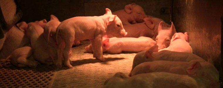 das-leben-eines-typischen-tonnies-schweines