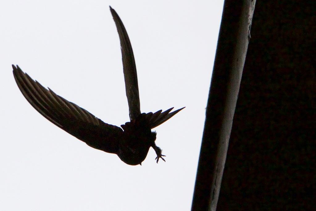 1-gierzwaluw-maakt-wel-zomer-–-interessante-tijden