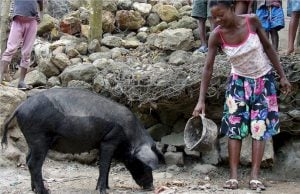 het-vreemde-geval-van-haitiaanse-varkens-en-canadees-imperialisme