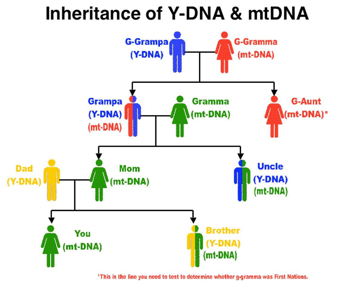 heredity family tree diagram heat trace wiring genetics apolojedi
